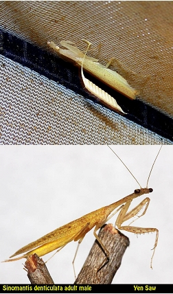 IGM 210, Sinomantis denticulata