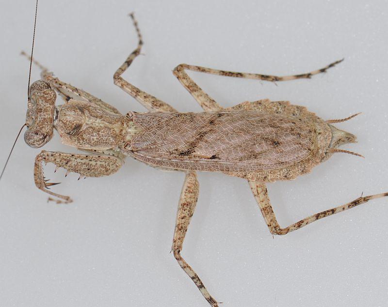 IGM 212, Humbertiella spec.