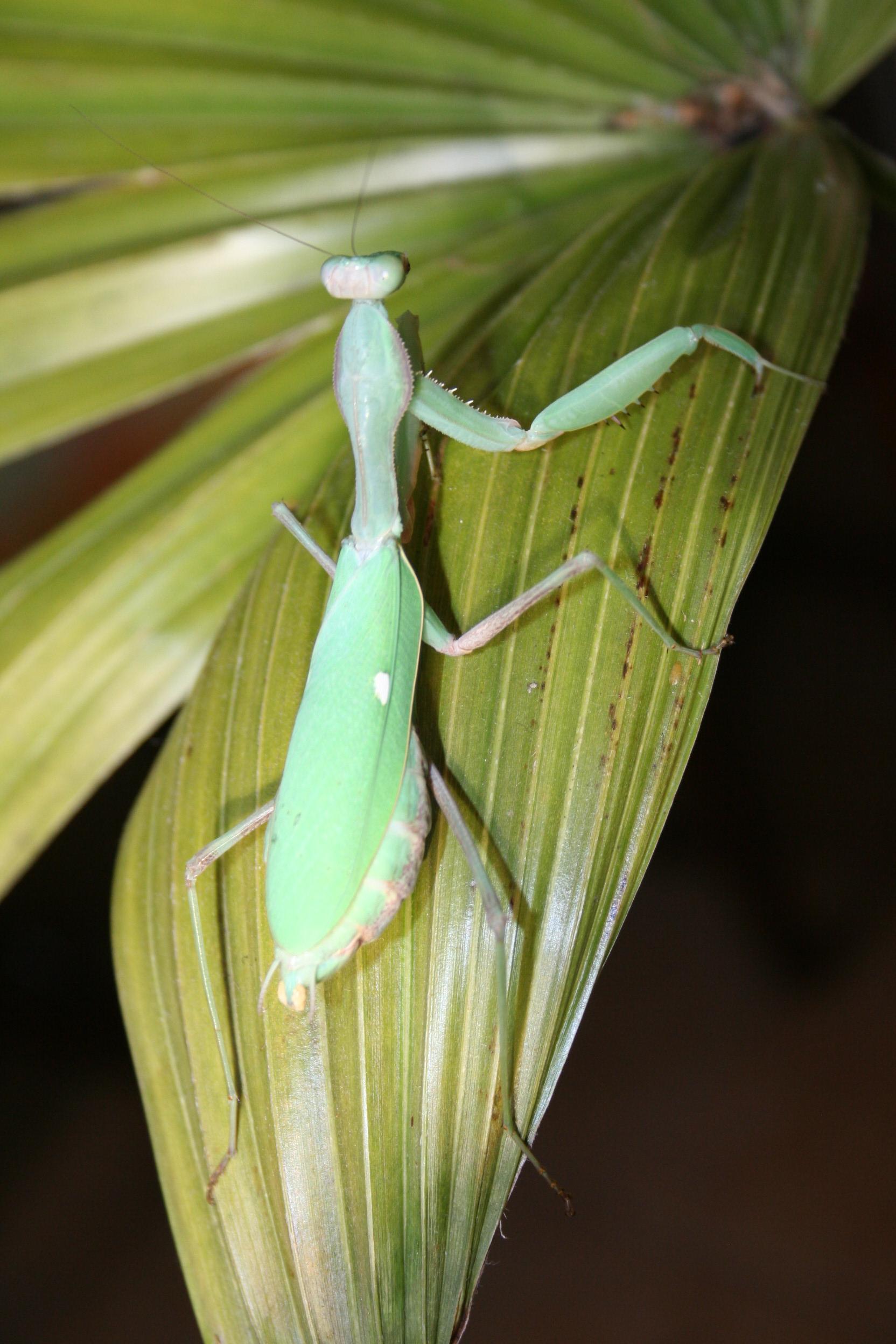 IGM 216, Sphodromantis viridis
