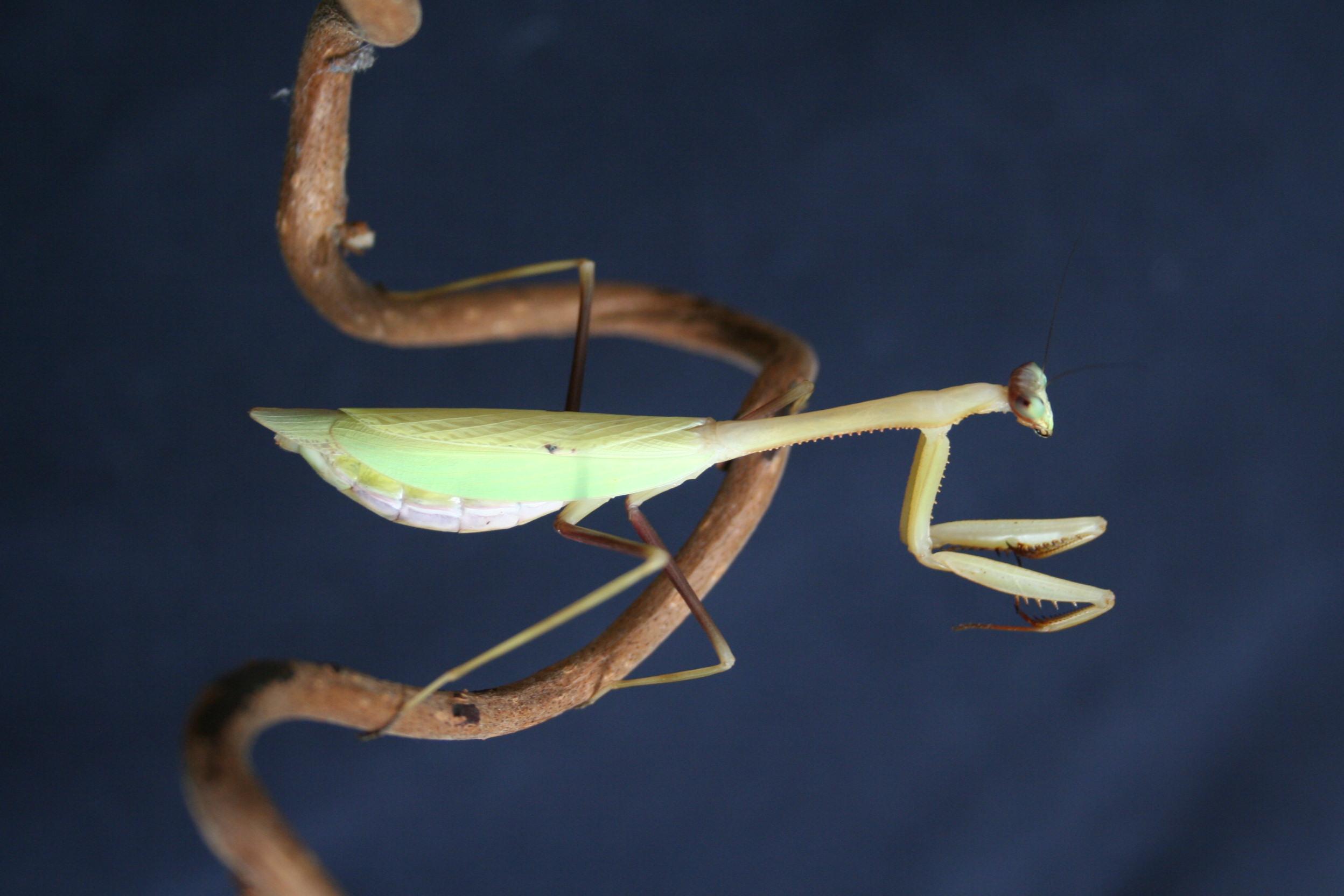 IGM 218, Oxyopsis festae