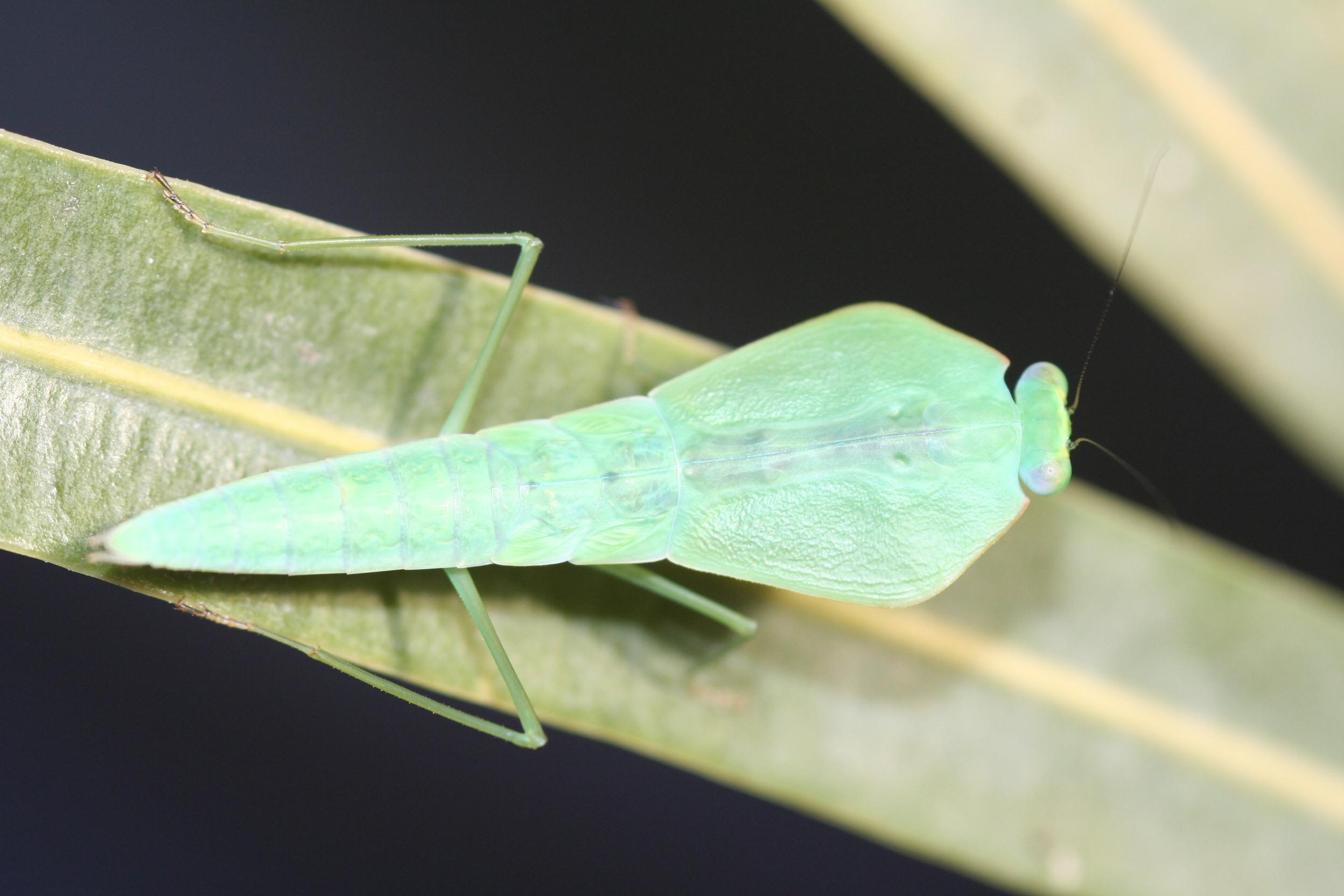IGM 219, Choeradodis rhombicollis