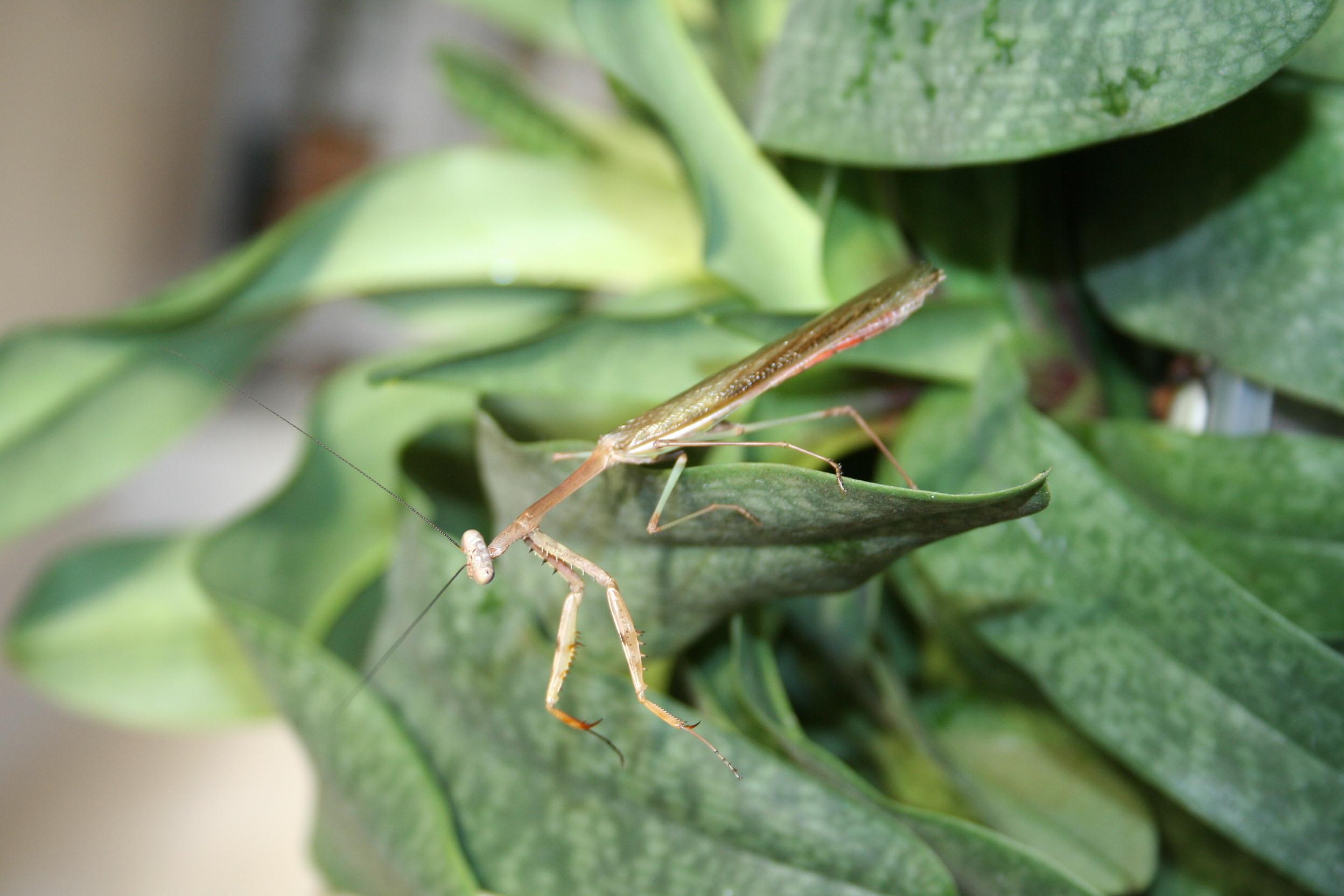IGM 220, Stagmomantis theophila