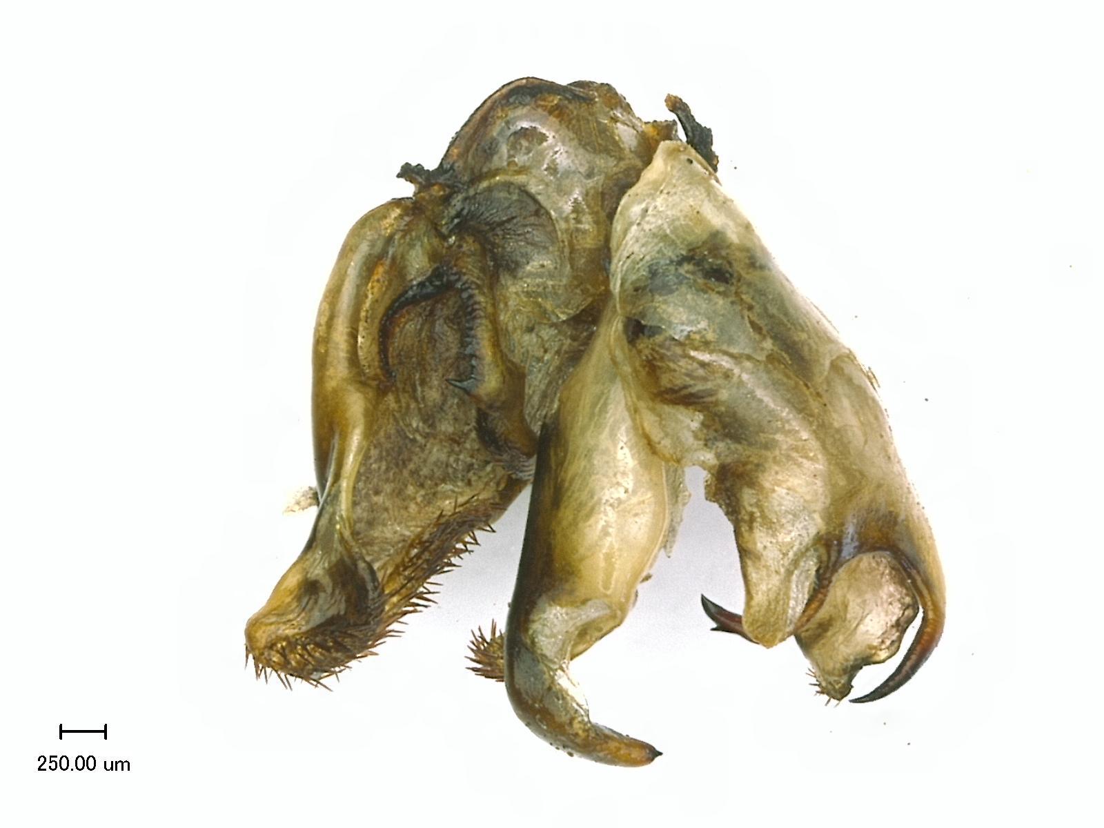 IGM 224, Pseudogalepsus nigricoxa