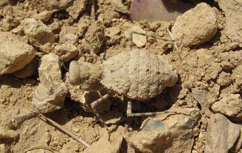 IGM 229, Eremiaphila sp.