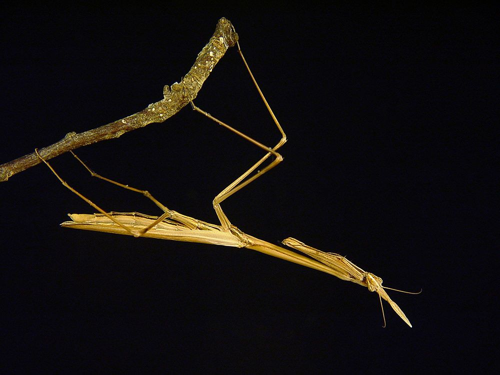 IGM 239, Hypsicorypha gracilis