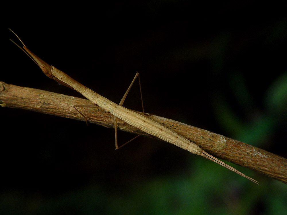 IGM 241, Didymocorypha lanceolata