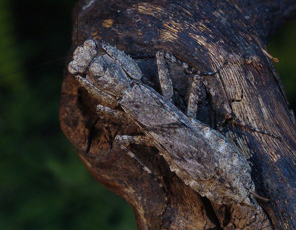 IGM 243, Humbertiella spec.