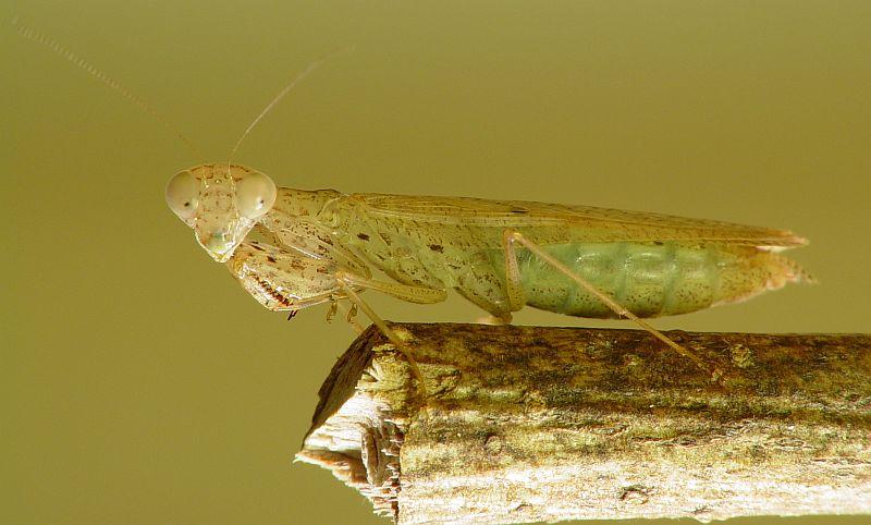 IGM 248, Amantis sp.