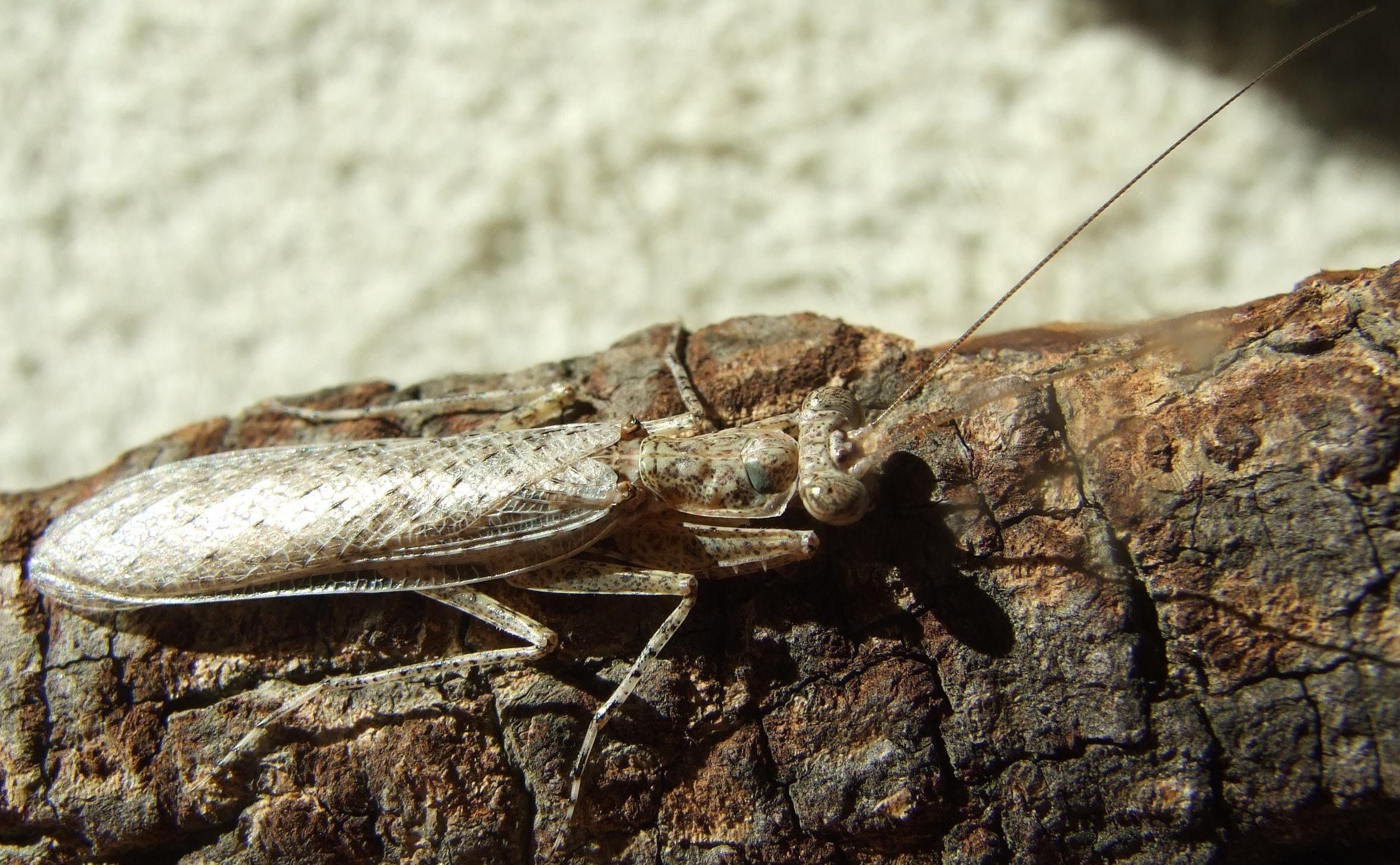 IGM 269, Humbertiella spec.